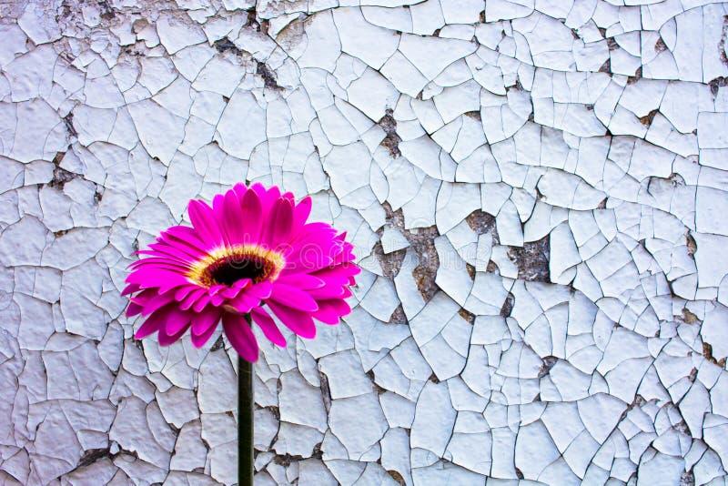 Roze gerberabloem op oude wijnoogst gebarsten verfachtergrond stock foto's
