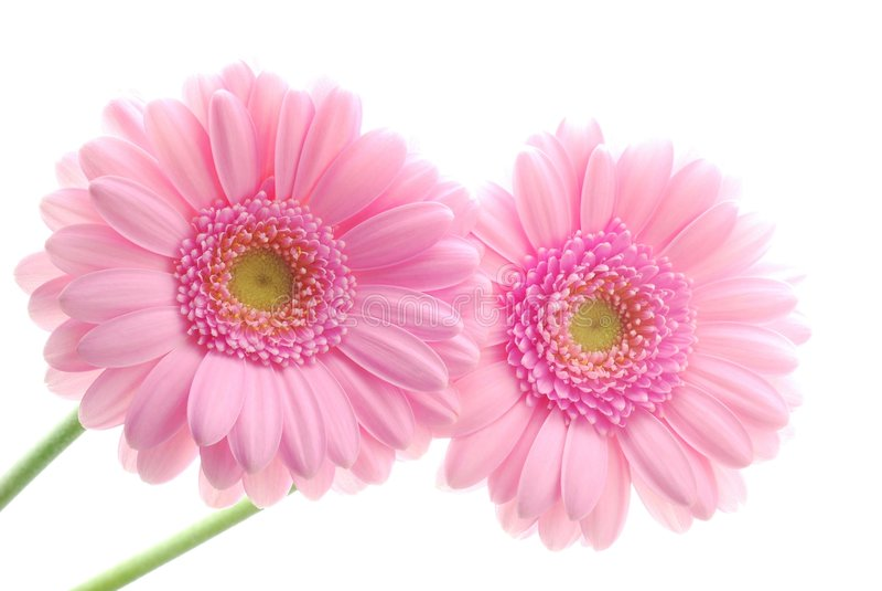 Roze gerberas royalty-vrije stock fotografie