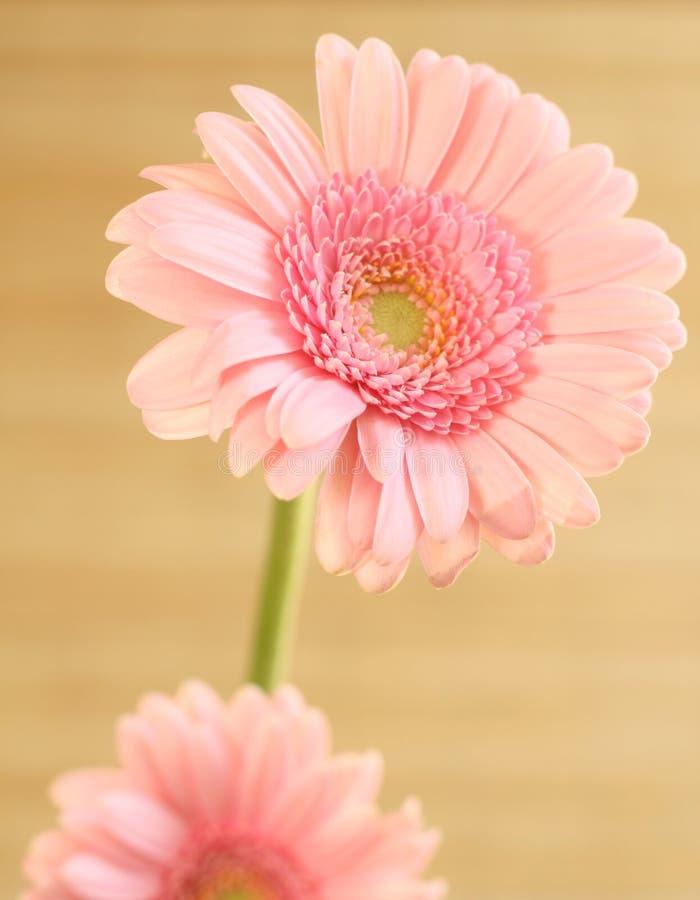 Roze gerberbloem royalty-vrije stock fotografie