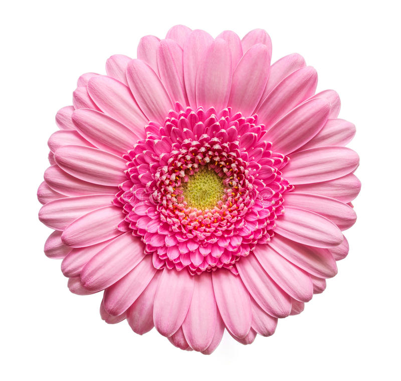 Roze gerberbloem stock fotografie