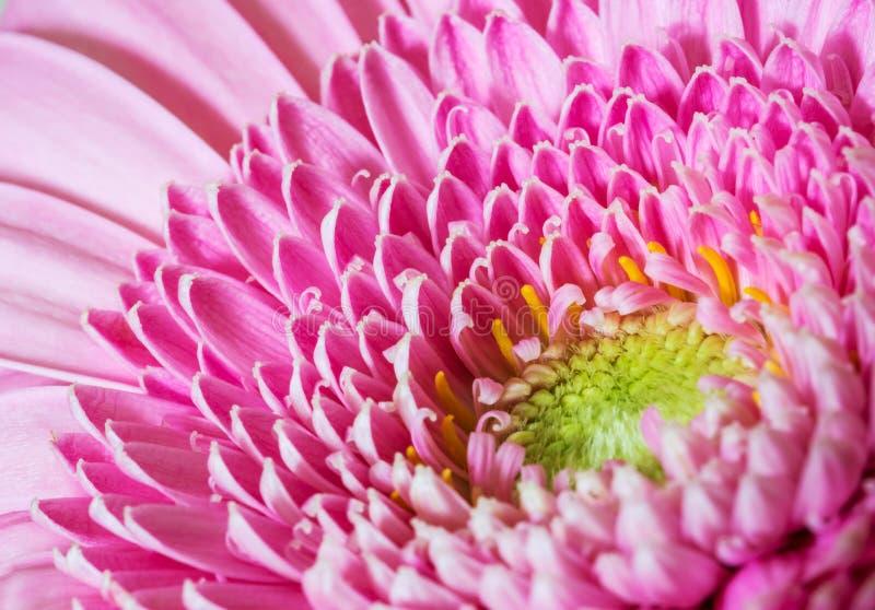 Roze gerberbloem stock afbeelding