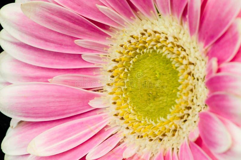 Roze gerberbloem royalty-vrije stock foto