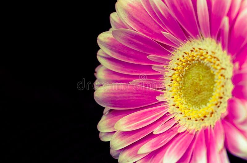 Roze gerberbloem stock afbeeldingen