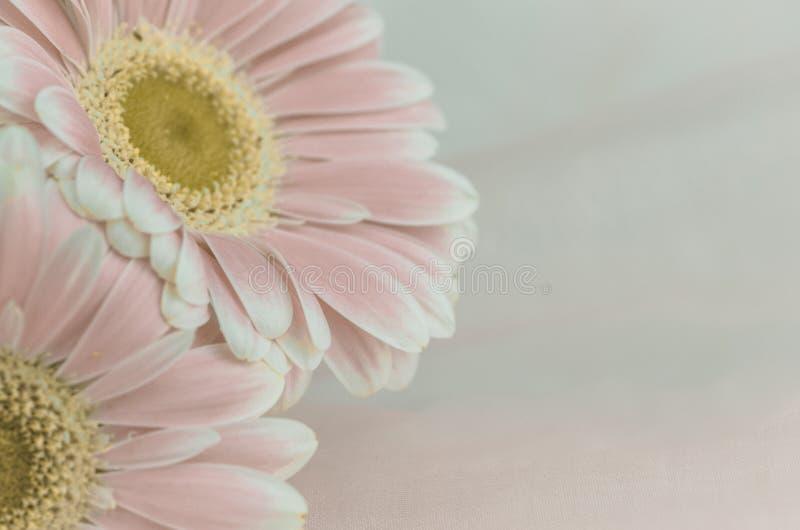 Roze gerberbloem royalty-vrije stock afbeeldingen