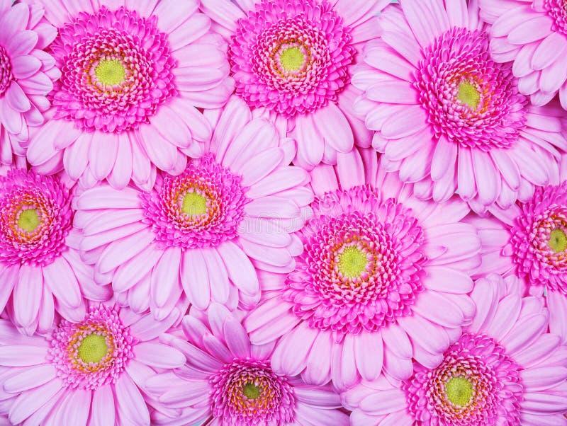 Roze gerberbloemen royalty-vrije stock afbeelding