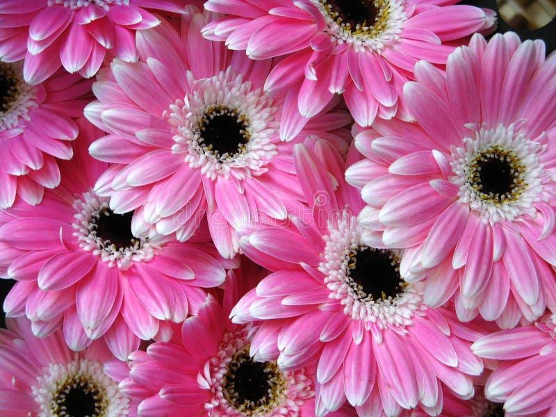 Roze gerberbloemen - achtergrond royalty-vrije stock afbeelding