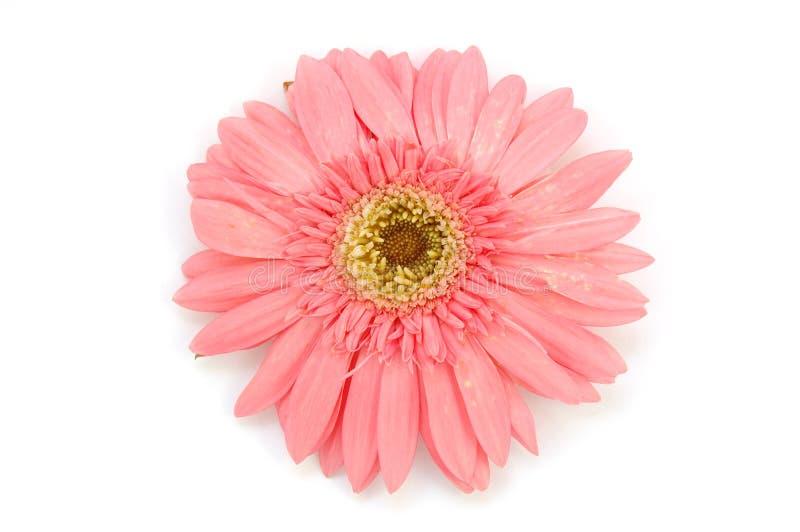 Roze gerbermadeliefje royalty-vrije stock foto's