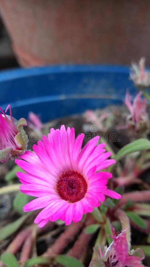 Roze gersera royalty-vrije stock foto
