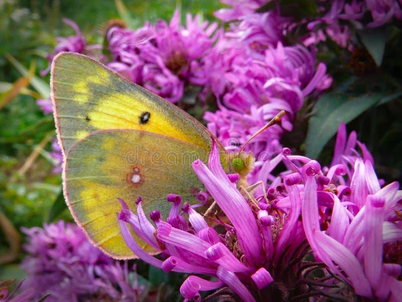 Roze-gescherpte Zwavelvlinder bij de Asterbloei royalty-vrije stock fotografie
