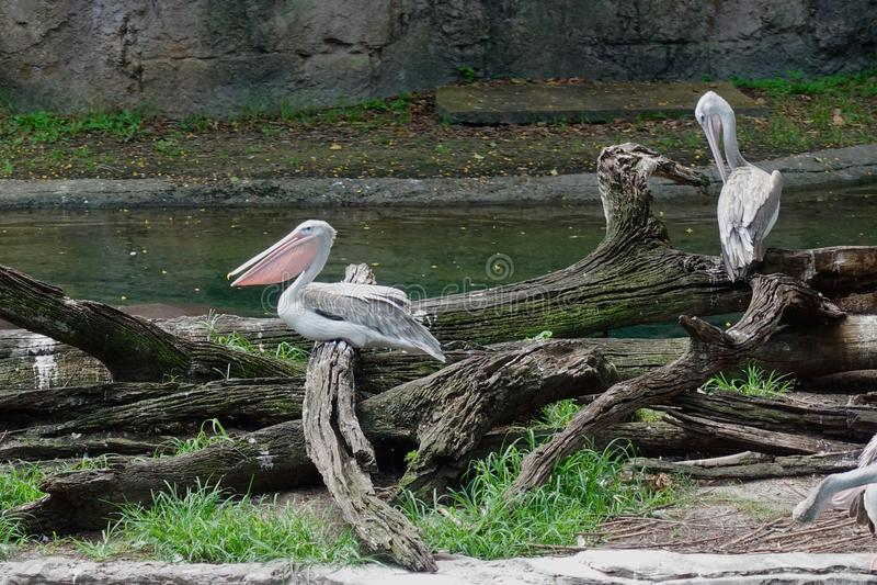 Roze Gesteunde Pelikanen bij de dierentuin stock foto's