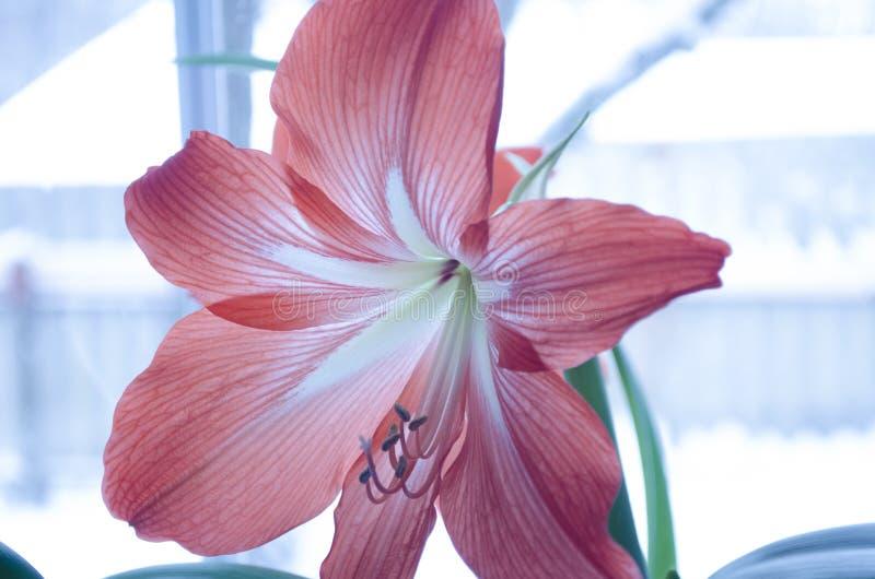 Roze gevoelige binnenbloem royalty-vrije stock afbeelding