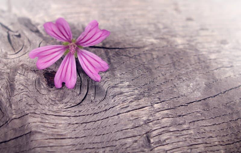 roze gevormde geraniumbloei op ruw doorstaan hout royalty-vrije stock foto