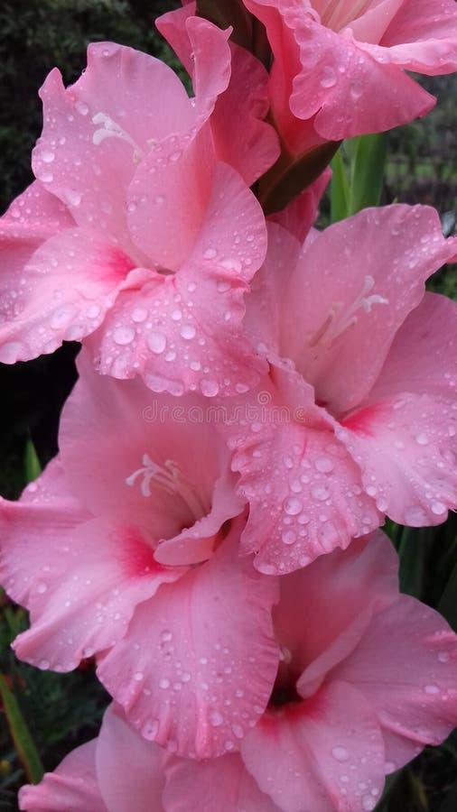 Roze gladiolen royalty-vrije stock fotografie