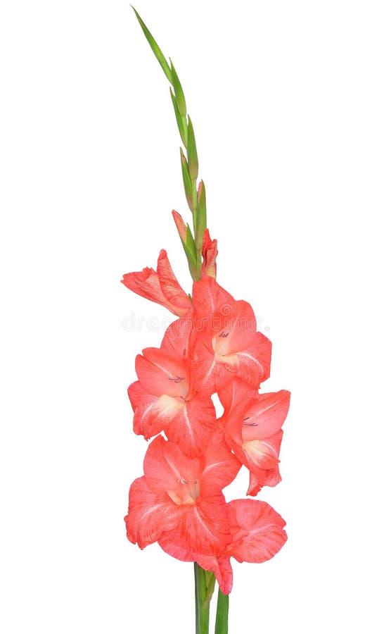 Roze Gladiolenbloem stock afbeeldingen