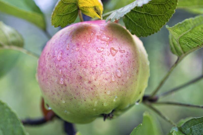 Roze - groene appel met waterdruppeltjes op appelboom stock fotografie