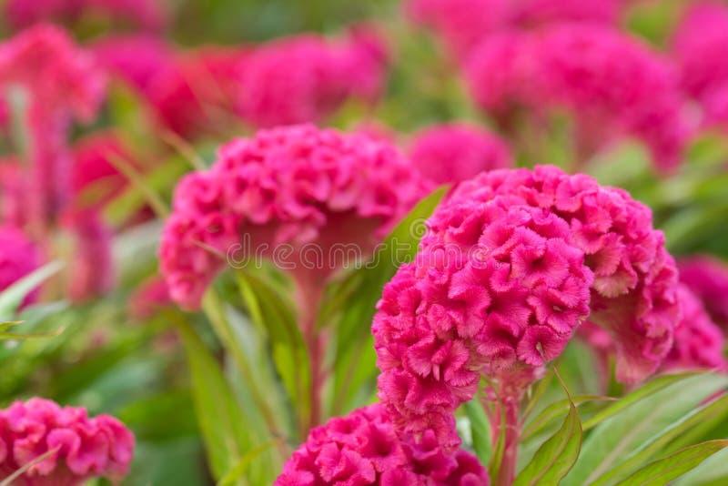 Roze hanekambloem royalty-vrije stock foto's