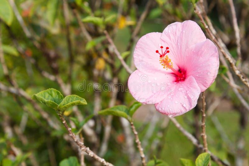 Roze Hawaiiaanse Hibiscusbloem stock foto
