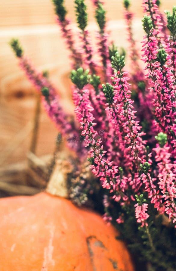 Roze heide op oranje pompoenachtergrond royalty-vrije stock afbeelding