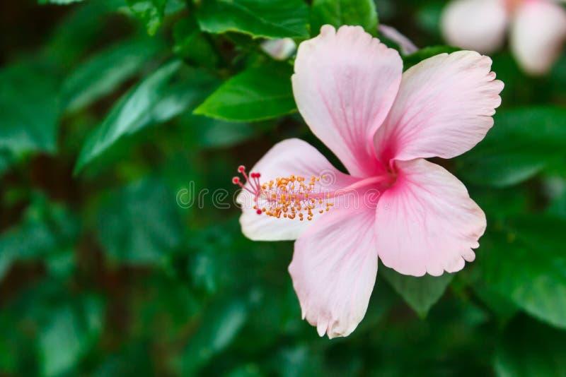Download Roze Hibiscus stock foto. Afbeelding bestaande uit parfum - 54076984