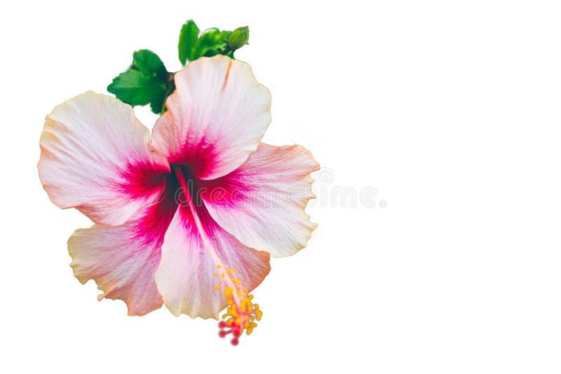 Roze hibiscus bueatiful die bloem op witte achtergrond wordt geïsoleerd stock foto's
