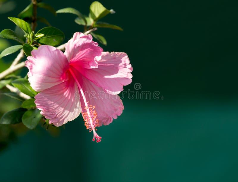 Roze hibiscusbloem op boom stock foto