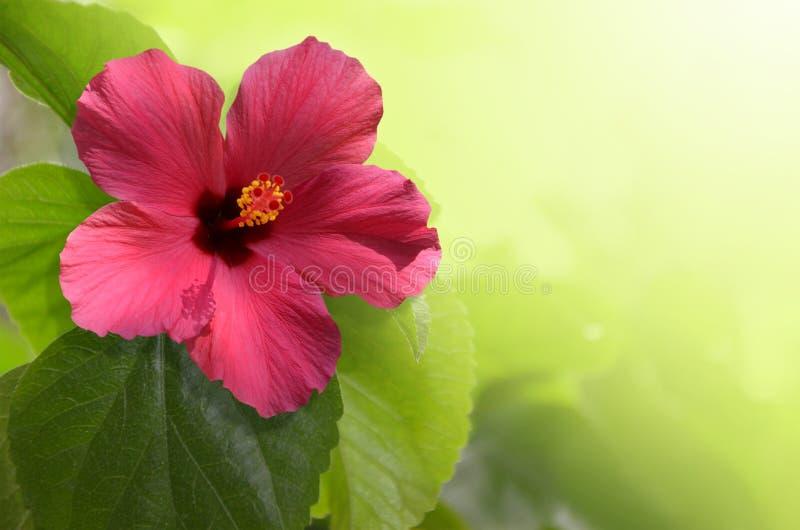 Roze hibiscusbloem op een geelgroene achtergrond stock foto's
