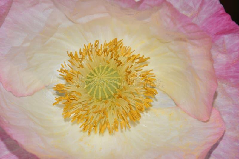Roze Hoogtepunt Vlaanderen Poppy Yellow Anthers royalty-vrije stock afbeelding