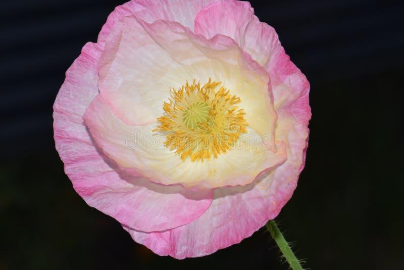 Roze Hoogtepunt Vlaanderen Poppy Yellow Anthers royalty-vrije stock foto's
