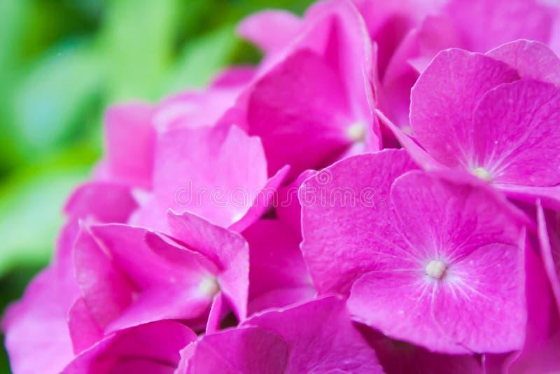 Roze Hortensia stock foto's
