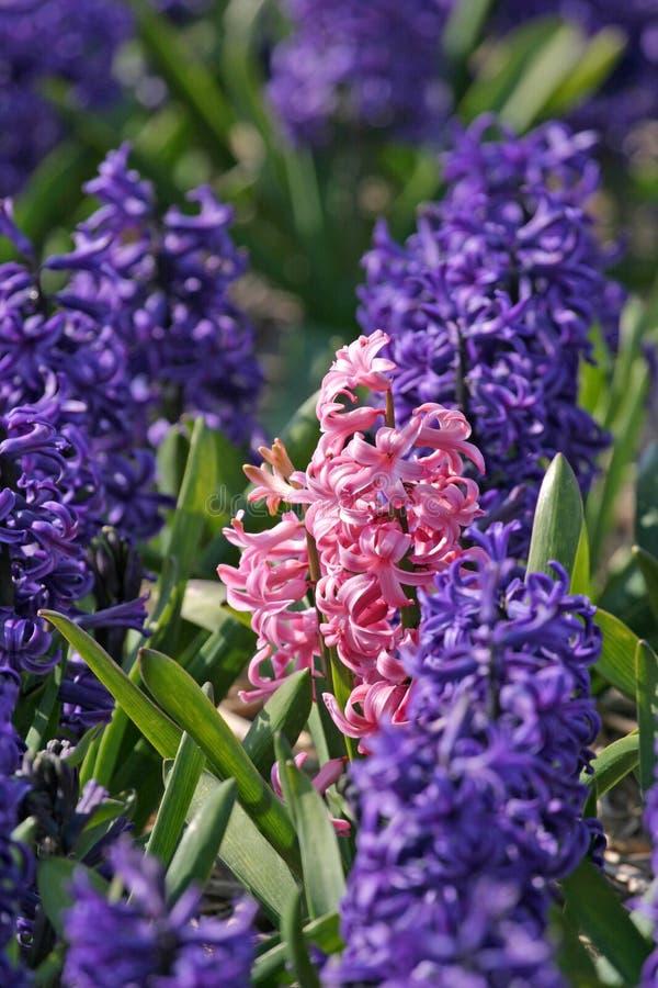 Roze hyacint stock fotografie