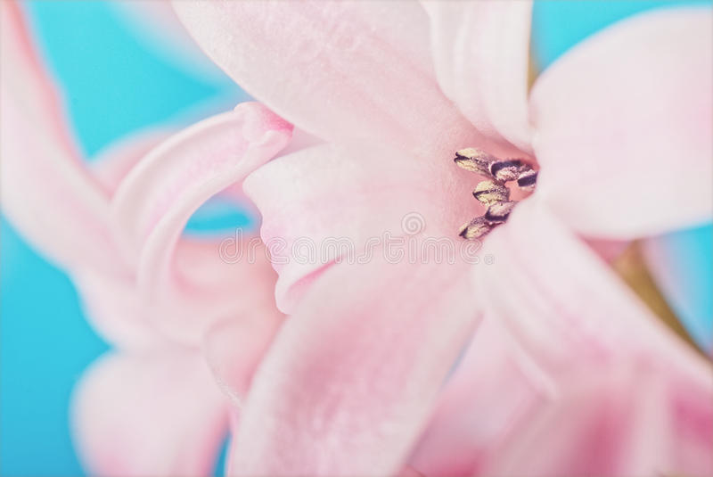 Roze hyacint op blauw royalty-vrije stock fotografie