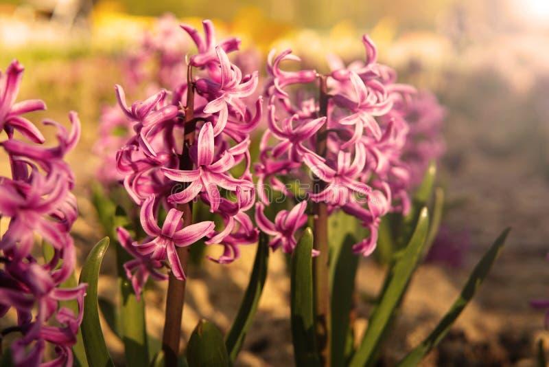 Roze hyacint in zon het glanzen stock foto