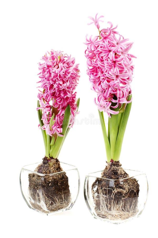 Roze hyacintbloemen royalty-vrije stock foto's