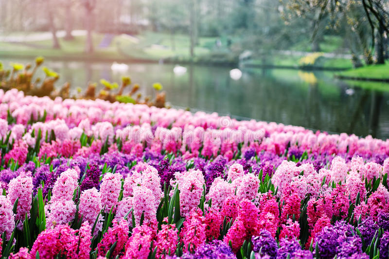 Roze hyacinten in Keukenhof-Tuinen, Nederland royalty-vrije stock fotografie