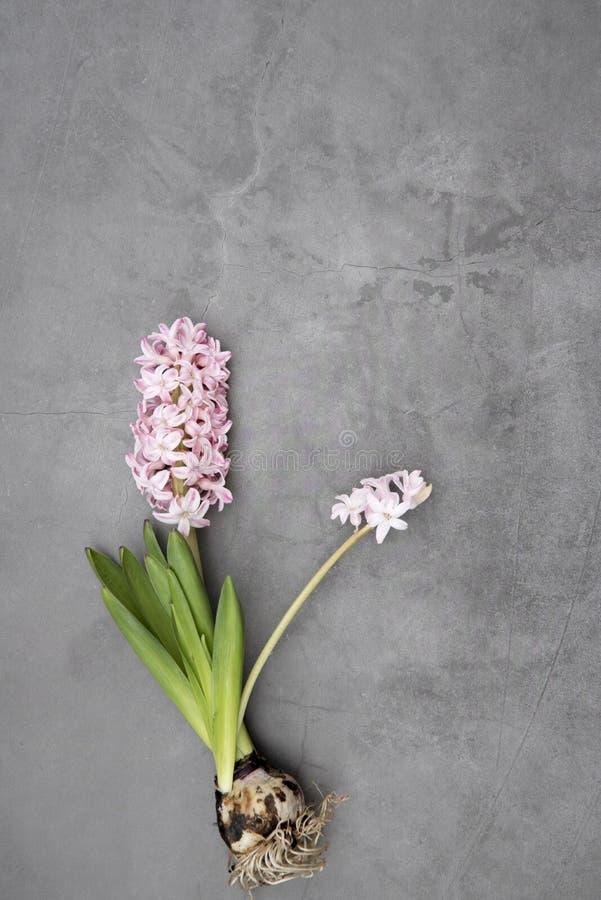 Roze hyacinthus op grijze achtergrond Hoogste mening stock foto's