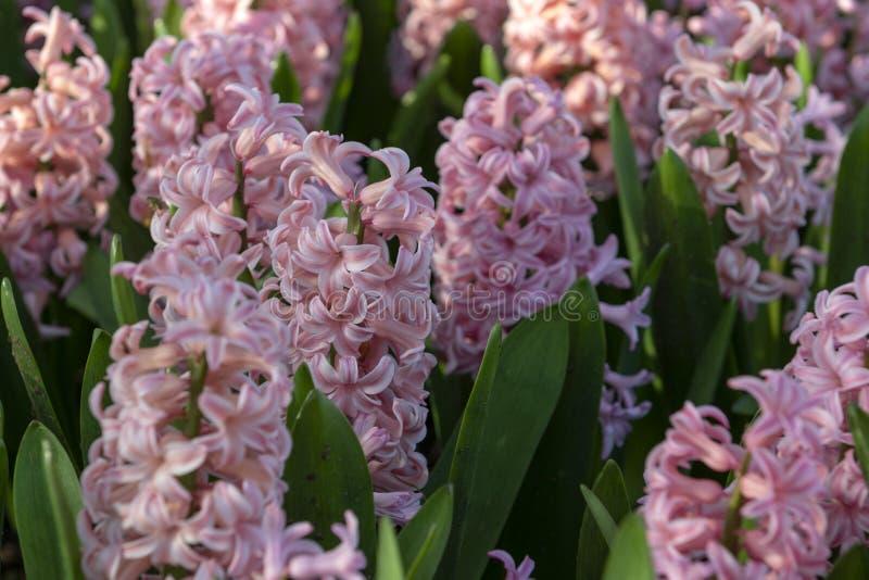 Roze Hyacinthus, Speciesorientalis, Hyacint Aantrekkelijke de lente bolvormige bloemen stock afbeelding