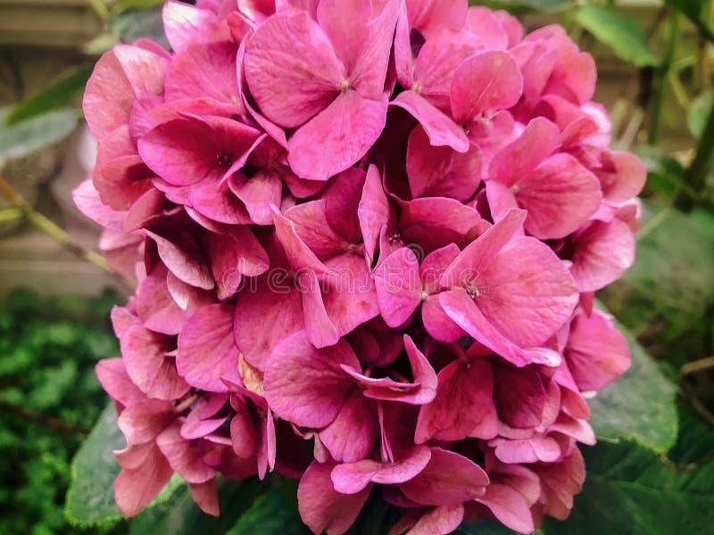 Roze hydrangea hortensia in bloei royalty-vrije stock foto's