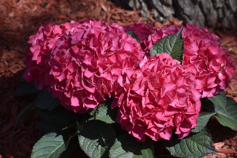 Roze Hydrangea hortensia in een bed van rode muls royalty-vrije stock foto