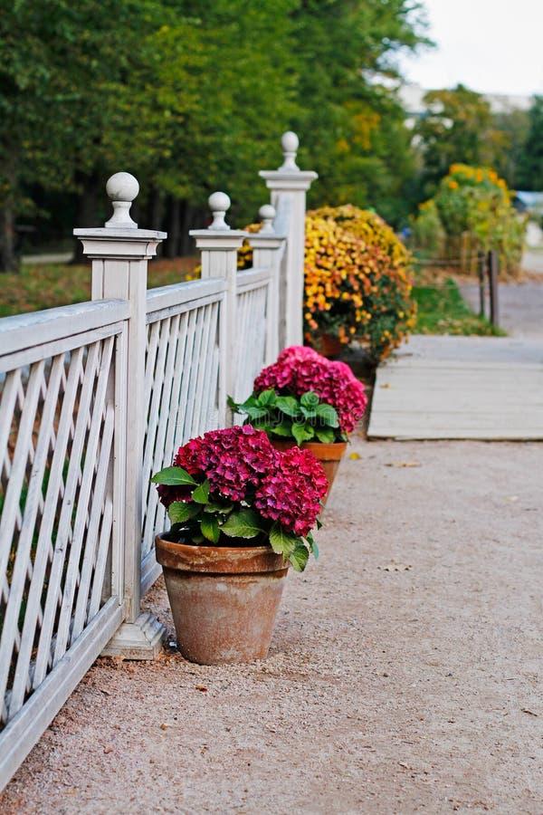 Roze hydrangea hortensia's in de potten bij de witte omheining royalty-vrije stock foto's