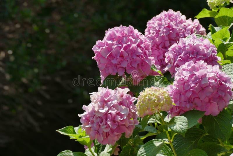 Roze hydrangea hortensia in volledige bloei in een tuin van Korfu royalty-vrije stock fotografie