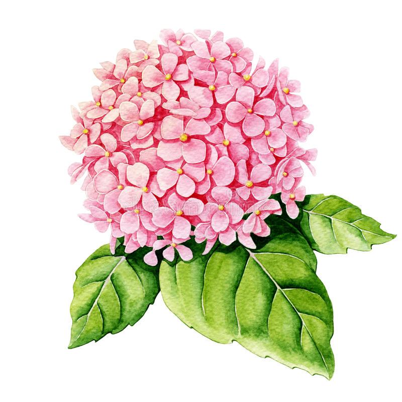 Roze hydrangea hortensia watercolor vector illustratie