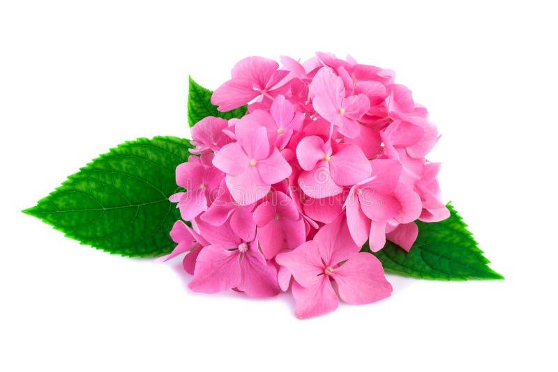 Roze hydrangea hortensiabloemen met groene die bladeren op wit worden geïsoleerd stock foto