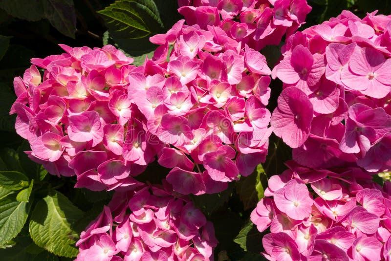 Roze Hydrangea hortensiabloemen met Regendalingen royalty-vrije stock afbeeldingen