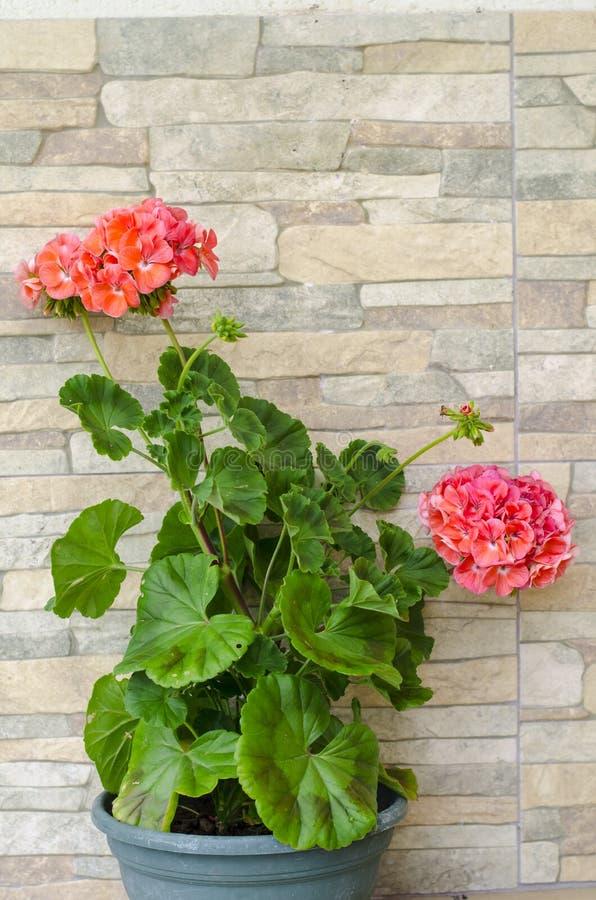 Roze hydrangea hortensiabloemen op de achtergrond van de steenmuur stock foto's