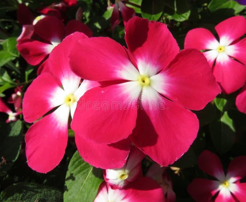 Roze Impatiens-Bloemen in de de Zomertuin in Augustus royalty-vrije stock foto