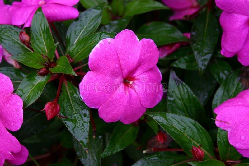Roze Impatients royalty-vrije stock foto