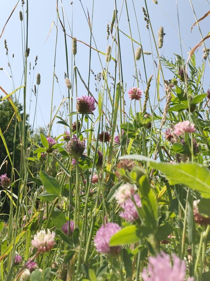 Roze inheemse grassen stock foto's