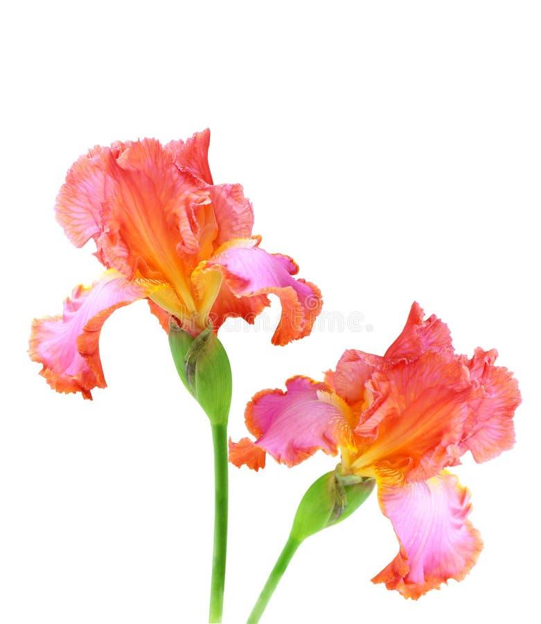Roze Iris royalty-vrije stock afbeeldingen