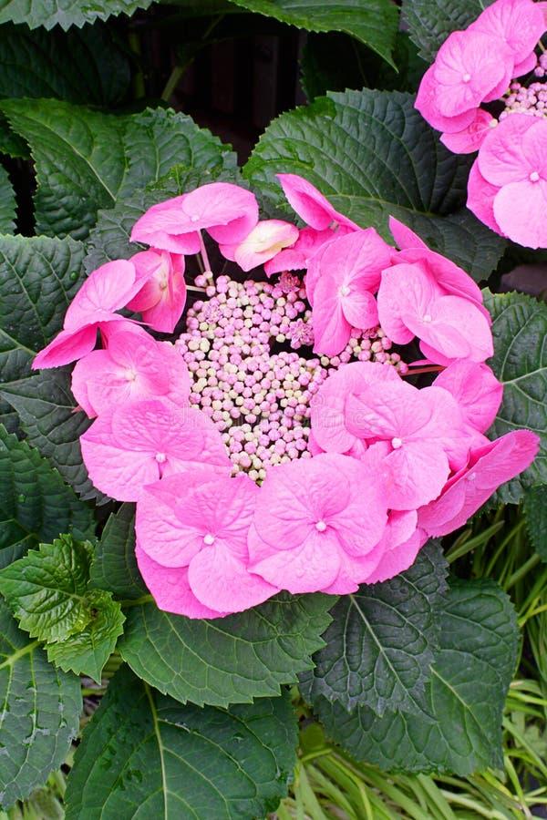 Roze kantglb hydrangea hortensia royalty-vrije stock afbeeldingen