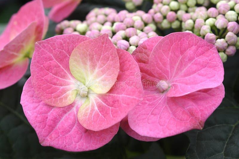 Roze kantglb hydrangea hortensia stock fotografie